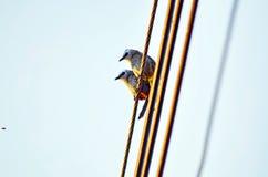 Ein Paar Gelb lüftete Bulbulvogelauge ein Wanzenfliegen vor ihnen stockfotografie