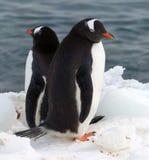 Ein Paar Gentoo-Pinguine entspannen sich im antarktischen Sonnenschein Lizenzfreie Stockbilder