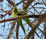 Ein Paar grüne Papageien auf einem Baumzweig. Lizenzfreies Stockfoto