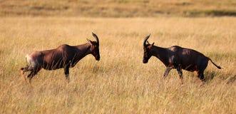 Ein Paar Impalen, die in Masaimara-Wildpark kämpfen lizenzfreies stockfoto
