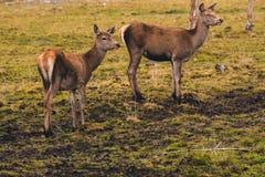 Ein Paar junge Rotwild, die nicht noch Hörner gewachsen haben, gehen durch eine Weide und stoppten an einer Birke, die der Gefahr lizenzfreie stockbilder