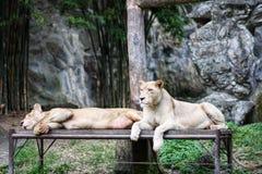Ein paar Löwe stockfotos