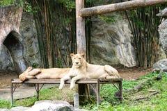 Ein paar Löwe lizenzfreie stockfotos