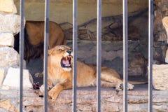 Ein Paar Löwen in der Gefangenschaft in einem Zoo hinter Gittern Energie und Angriff im Käfig Lizenzfreies Stockbild