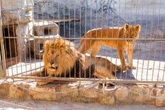 Ein Paar Löwen in der Gefangenschaft in einem Zoo hinter Gittern Energie und Angriff im Käfig Lizenzfreie Stockfotos