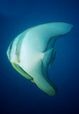 Ein paar longfin Batfish Lizenzfreies Stockbild