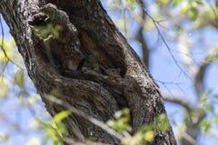 Ein Paar nette, Pelzeichhörnchen, die aus ihrem Nest heraus blicken Lizenzfreies Stockfoto