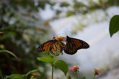 Ein Paar Orangen-, Schwarzen und Gelbenschmetterlinge, die von einer kleinen Blume nippen lizenzfreies stockbild