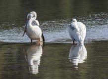 Ein Paar Pelikane Stockfotos