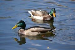 Ein Paar schöne Enten Stockbild