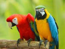 Ein paar schöne Macaws Lizenzfreie Stockfotos