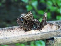 Ein paar schöne Schmetterlinge auf einem Baumstamm gegraben in Martinique stockfotografie