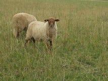 Ein Paar Schafe Stockbild