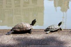 Ein paar Schildkröte, die sunbath nimmt Stockfotos