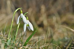 Ein Paar Schneeglöckchenblumen Lizenzfreies Stockbild