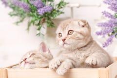 Ein paar schottische rote Kätzchen sitzen in einer dekorativen Holzkiste Stockfotografie