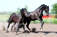 Ein Paar schwarze Stallions Lizenzfreie Stockfotografie