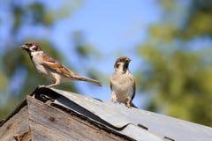 Ein Paar Spatzenvogeleltern kam zum alten hölzernen Dach, Küken einzuziehen Stockfotografie