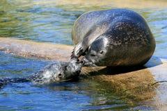 Ein paar streichelnde Robben Lizenzfreie Stockfotografie