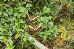 Ein Paar Swallowtail-Schmetterlinge im Flug lizenzfreie stockbilder