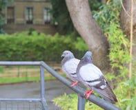 Ein Paar Tauben Lizenzfreie Stockbilder