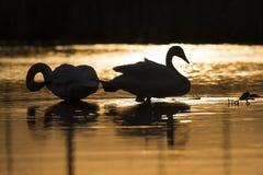 Ein Paar Trompeters-Schwäne bei Sonnenuntergang Lizenzfreies Stockfoto