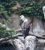 Ein Paar von Eagles Stockbilder