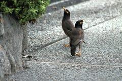 Ein Paar von gemeiner Myna Birds Stockfotografie