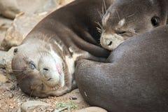Ein Paar von Orientalen Kurz-kratzte die streichelnden Otter Lizenzfreie Stockfotografie