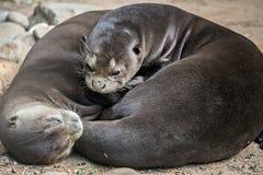 Ein Paar von Orientalen Kurz-kratzte die streichelnden Otter Stockfotos