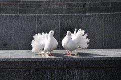 Ein Paar weiße Tauben Stockfotografie
