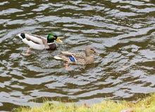 Ein Paar Wildenten schwimmen im Stadtteich Lizenzfreies Stockbild