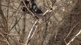 Ein Paarkrähennest im Baum stock footage