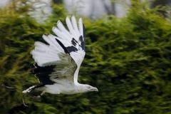 Ein Palmen-Nuss-Geierfliegen vorüber Stockfotografie