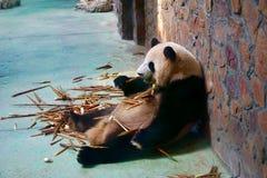Ein Panda, der auf frischen Bambus sich konzentriert stockfoto