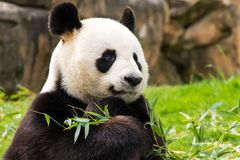 Ein Panda, der seine Favoriten Bambus hält Stockfoto