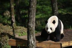 Ein Panda in Panda Valley Scenic Area, Foping-Grafschaft stockbild