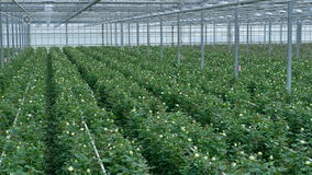 Ein Panoramablick auf einem großen Gewächshaus vollständig gepflanzt mit Rosen 4K stock footage
