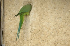 Ein Papagei Stockfoto