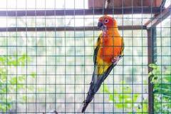 Ein Papagei in einem Käfig lizenzfreie stockfotos