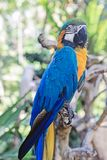 Ein Papagei mit gelber und blauer Feder Lizenzfreies Stockfoto
