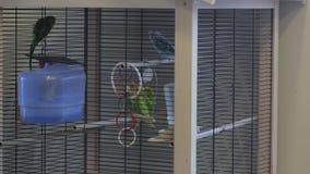 Ein Papageien-Spiel im Käfig stock footage