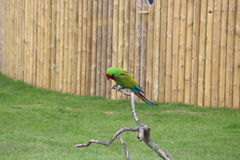 Ein Papageienmilitärkeilschwanzsittich Stockfotografie