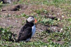 Ein Papageientaucher in den Farne-Inseln stockfotos
