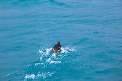Ein Papageientaucher, den Vogel mit laufen lässt, spritzt auf dem Wasser des Meeres Abschluss oben stockbilder