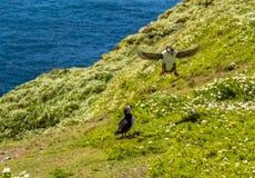 Ein Papageientaucher macht eine vertikale Landung auf Skomer-Insel, Wales Lizenzfreie Stockfotografie