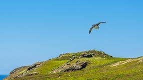Ein Papageientaucher mit Aalen eines Fangsandes über Skomer-Insel, Wales lizenzfreies stockbild