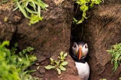 Ein Papageientaucher in seinem Bau Lizenzfreies Stockbild