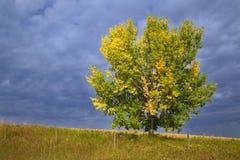 Ein Pappelbaum auf einem Gebiet drehend gelb im Frühherbst Lizenzfreie Stockbilder