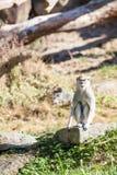 Ein Patas-Affe Stockfotos